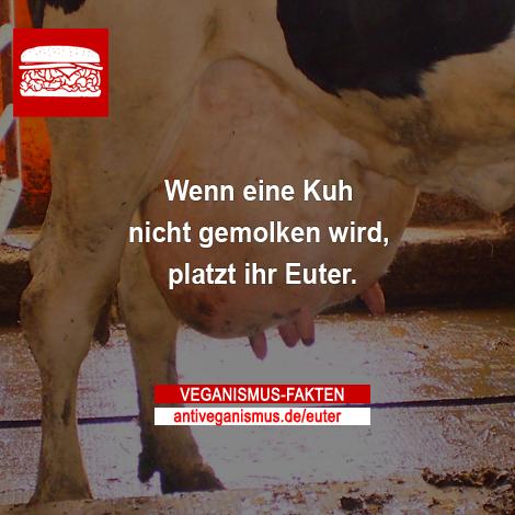 Wenn eine Kuh nicht gemolken wird, platzt ihr Euter.